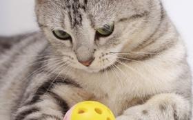 Обои кошка, кот, окрас вискас, Шотландский, прямоухий страйт