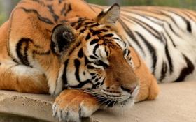 Обои дикая кошка, тигр, дремлет, лапа, морда, отдых, хищник