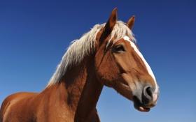 Обои рыжий, небо, конь