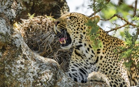 Картинка морда, хищник, леопард, оскал, угроза