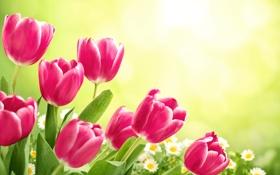 Обои цветы, тюльпаны, fresh, flowers, tulips, spring