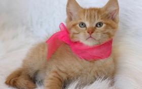Обои рыжий, лента, котёнок