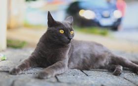 Обои кошка, взгляд, улица
