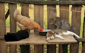 Обои кошки, забор, курица