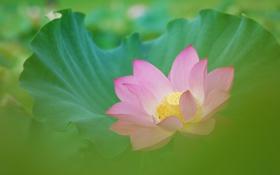 Картинка лист, розовый, размытость, лотос