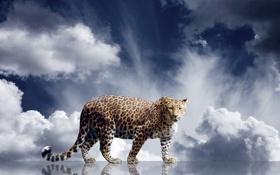 Картинка взгляд, облака, хищник, леопард, зверь