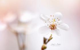 Обои цветок, весна, боке