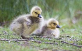 Картинка трава, малыш, птенец, гусенок