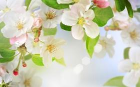 Картинка листья, весна, лепестки, макро, яблоня, дерево