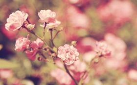 Обои цветы, куст, розы, ветка
