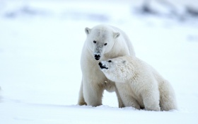 Картинка зима, снег, медведи, Аляска, медвежонок, детёныш, белые медведи