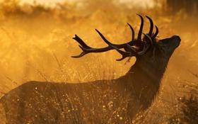 Картинка трава, роса, олень, утро, рога