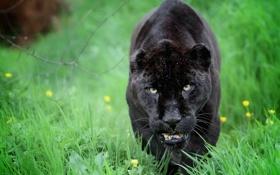Обои пантера, дикая кошка, морда, хищник, ягуар