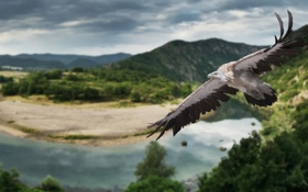 Обои природа, птица, крылья, панорама, полёт, гриф