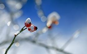 Обои снег, ягоды, веточка, шиповник, боке