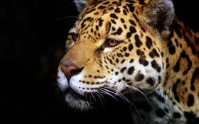 Картинка морда, хищник, ягуар, профиль, тёмный фон