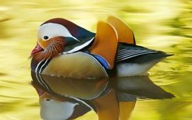 Обои краски, перья, клюв, утка, мандаринка