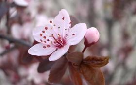 Обои цветок, макро, вишня, розовый, ветка, весна, лепестки