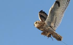 Картинка небо, полет, сова, птица, еда, охота, добыча