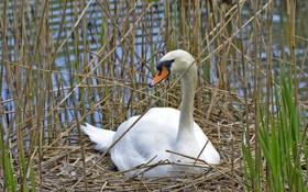 Обои трава, птица, гнездо, профиль, лебедь