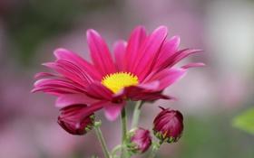 Картинка цветок, красный, бутоны, хризантема
