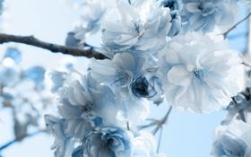 Обои макро, цветы, ветка, голубые