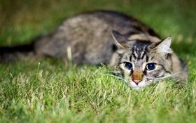 Обои трава, глаза, котенок, Кошка, милый, grass, kitten