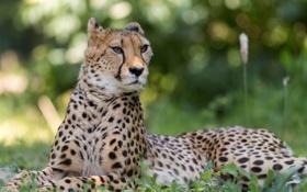 Обои морда, гепард, лежит, смотрит, ушки дыбом