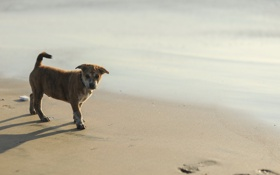 Обои пляж, собака, щенок