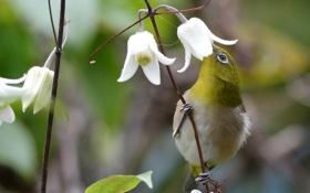 Обои цветы, нектар, птица, колокольчики, лиана