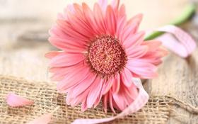 Обои ленточка, цветок, розовая, гербера