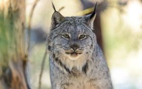 Картинка кошка, взгляд, хищник, рысь, ©Eric Kilby