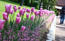 Обои flower, Цветок, тюльпан