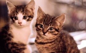Обои котэ, кошки, котята, два, маленьких