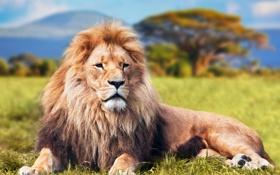 Обои отдых, лев, трава, кошка