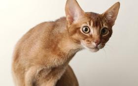 Обои кошка, кот, морда, фон, внимание
