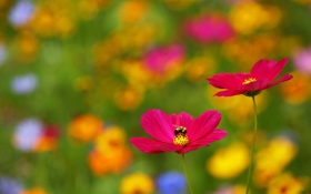 Обои Flower, Cosmos, Bee