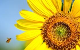 Обои лето, природа, пчела, подсолнух, насекомое, солнечно