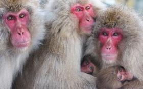 Обои взгляд, природа, обезьяны