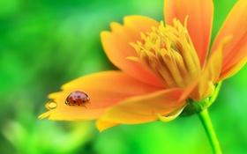 Картинка цветок, макро, капля, божья коровка, лепестки, насекомое
