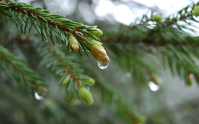 Обои природа, обои, ель, вода, дерево