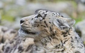 Обои кошка, морда, ирбис, снежный барс, ©Tambako The Jaguar