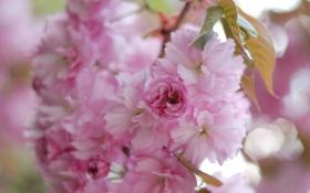 Обои весна, розовые, сакура, лепестки, размытость, макро, цветы