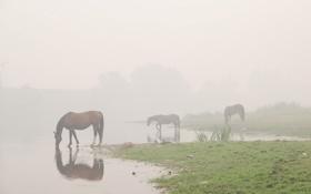 Обои вода, Туман, лошади