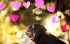 Обои сердечки, взгляд, собака