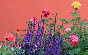Обои стена, розы, лаванда