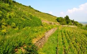 Картинка зелень, трава, Франция, поля, склон, кусты, плантации