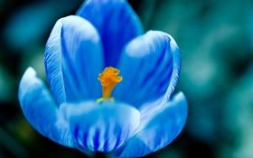 Обои цветок, голубой, синий, крокус, макро