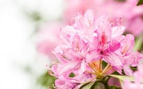 Картинка макро, цветы, природа, розовый, нежность, лепестки, блюр