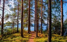 Картинка лес, деревья, озеро, берег, сосны, тропинка